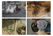 Продаю перепела,  перепелиные яйца,  фазаны,  фазаны ,  куры. Житомир - Пт