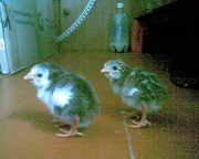 Продам срочно птенцы цесарок