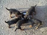 Продам щенків ягдтер