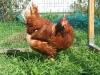Продаж домашніх курячих яєць оптом та в роздріб.