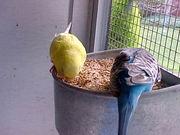 Очищенное просо для попугаев,  Житомир