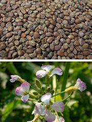Продам срочно семена редьки масляной,  Черняхов