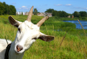 Дойные и молодые козы молочной породы