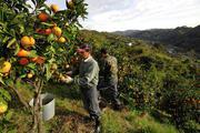 Сбор цитрусовых. Испания.