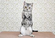 Шотландские котята. Житомир.